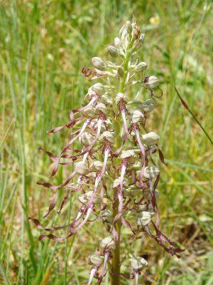 Himantoglossum-hircinum