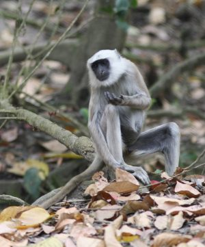 common-langur