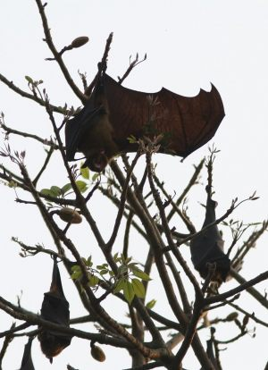 indian-flying-fox