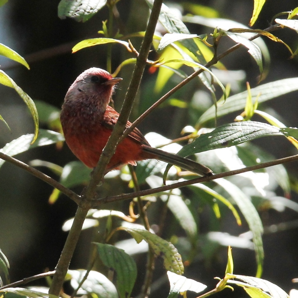pink headed warbler