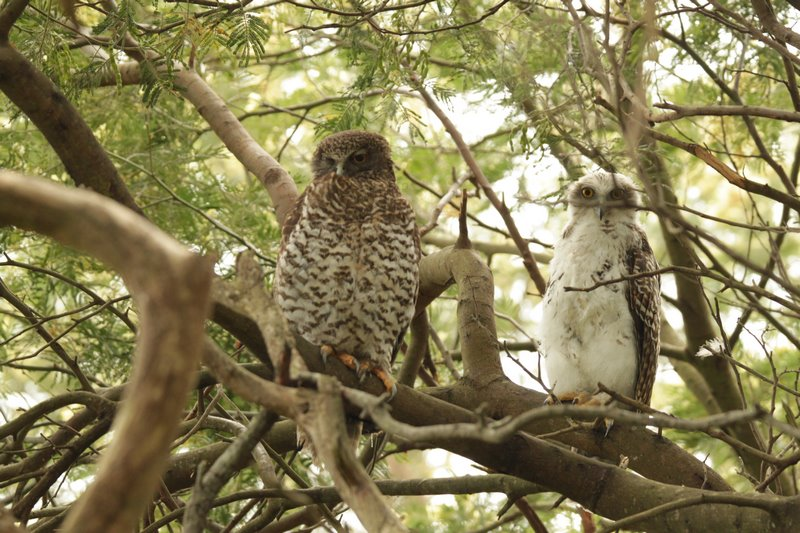 Powerful Owl 2 Kopie